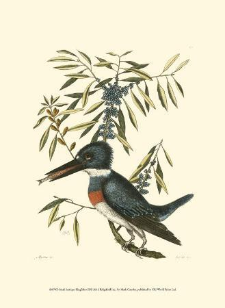 mark-catesby-small-antique-kingfisher-ii