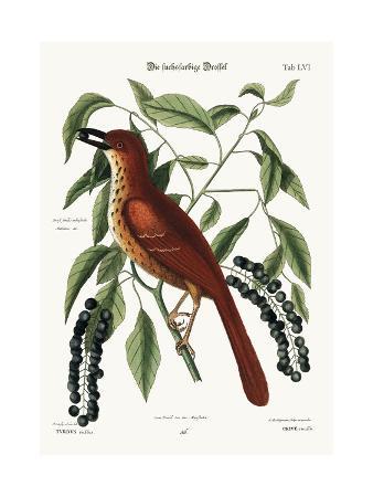 mark-catesby-the-fox-coloured-thrush-1749-73