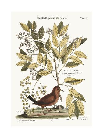 mark-catesby-the-ground-dove-1749-73
