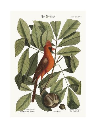 mark-catesby-the-red-bird-1749-73