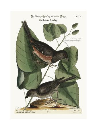 mark-catesby-the-towhe-bird-the-cowpen-bird-1749-73