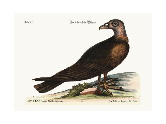 mark-catesby-the-turkey-buzzard-1749-73
