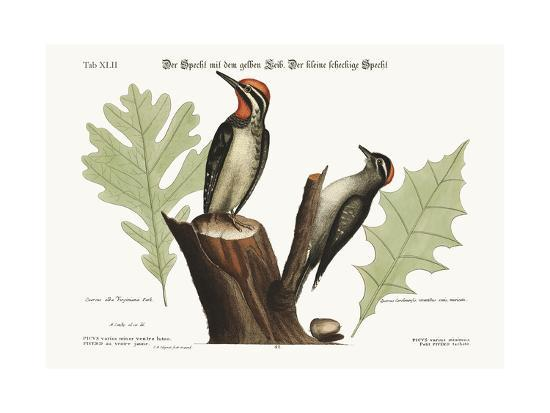 mark-catesby-the-yellow-bellied-woodpecker-the-smallest-spotted-woodpecker-1749-73