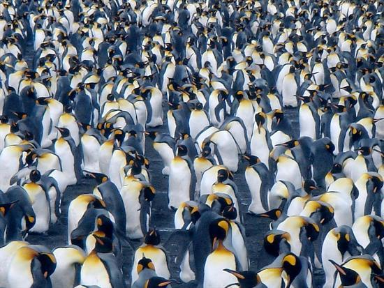 mark-green-a-colony-of-king-penguins-on-the-south-georgia-islands-antarctica