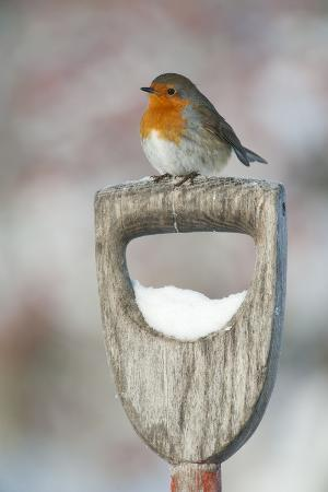mark-hamblin-adult-robin-erithacus-rubecula-perched-on-spade-handle-in-the-snow-in-winter-scotland-uk