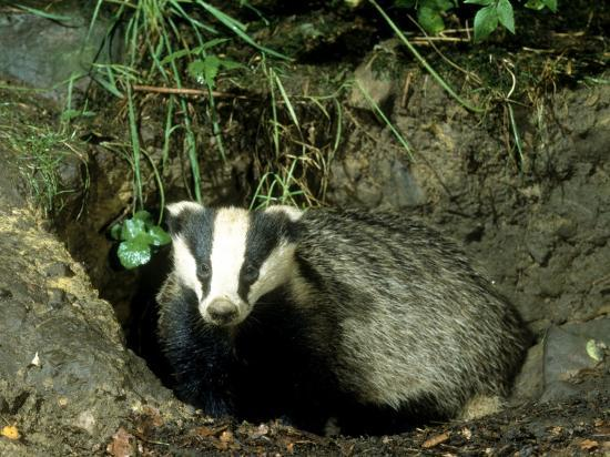 mark-hamblin-badger
