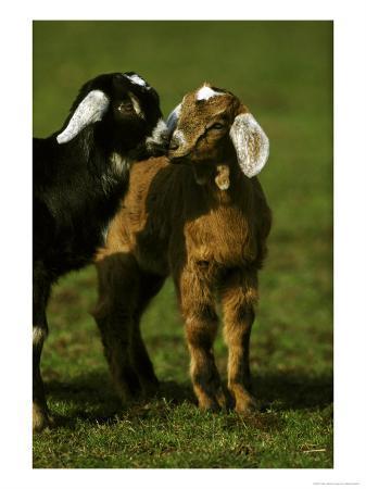 mark-hamblin-billy-goat