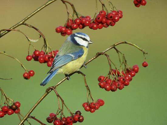 mark-hamblin-blue-tit-perched-on-berries