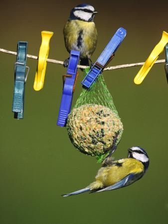 mark-hamblin-blue-tits-feeding-on-feeder