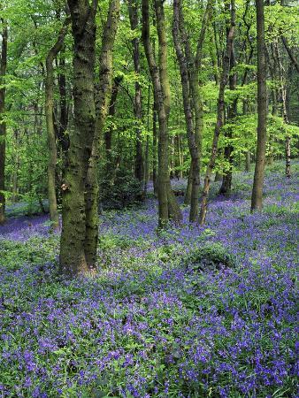 mark-hamblin-bluebells-in-deciduous-woodland-uk