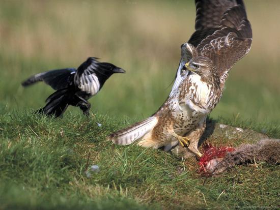 mark-hamblin-buzzard-fending-off-magpie-from-prey