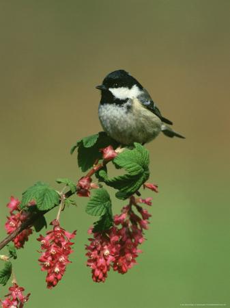 mark-hamblin-coal-tit-perched-on-wild-currant-blossom-uk