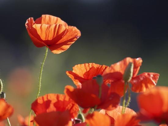 mark-hamblin-common-poppy-red-petals-backlit-in-early-morning-light-scotland