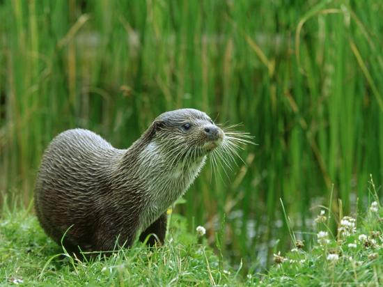 mark-hamblin-european-otter-lutra-lutra-portrait-on-riverbank