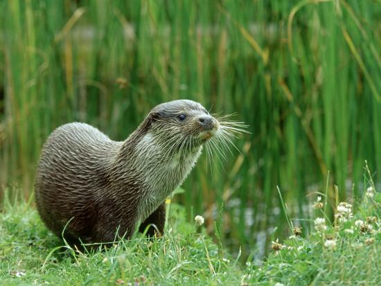 mark-hamblin-european-otter-lutra-lutra-riverbank