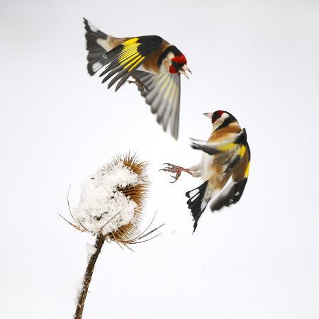 mark-hamblin-goldfinches-carduelis-carduelis-squabbling-over-teasel-seeds-in-winter-cambridgeshire-uk