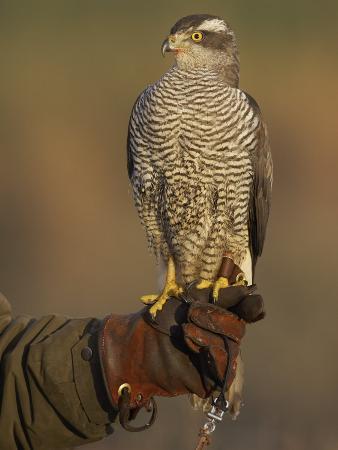 mark-hamblin-goshawk-adult-perched-on-falconers-glove-scotland