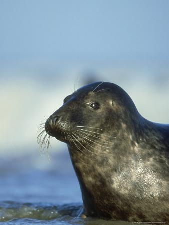 mark-hamblin-grey-seal-halichoerus-grypus-portrait-of-cow-north-lincol-nshire-uk