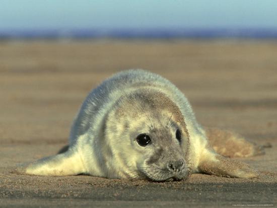 mark-hamblin-grey-seal-pup-uk