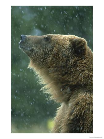 mark-hamblin-grizzly-bear-portrait-usa