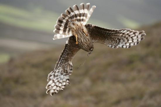 mark-hamblin-hen-harrier-circus-cyaneus-female-diving-to-nest-site-carrying-nesting-material-uk-june