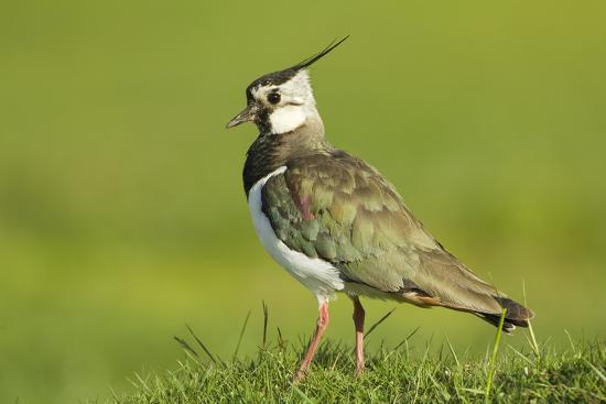 mark-hamblin-lapwing-vanellus-vanellus-adult-in-breeding-plumage-scotland-uk-june
