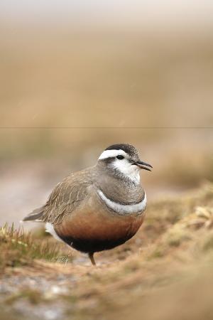 mark-hamblin-male-eurasian-dotterel-in-breeding-habitat-grampian-mountains-cairngorms-np-scotland-uk