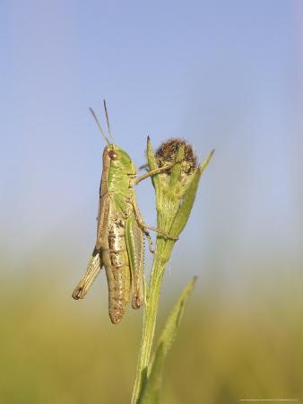 mark-hamblin-meadow-grasshopper-male-resting-on-flower-head-uk