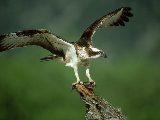 mark-hamblin-osprey-pandion-haliaetus-male-on-branch-with-fish-scotland-uk