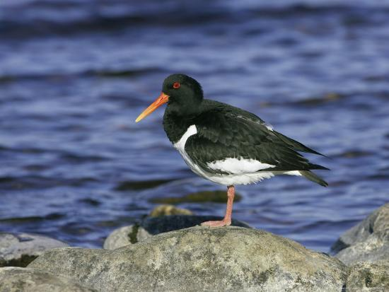 mark-hamblin-oystercatcher-adult-standing-on-rock-scotland