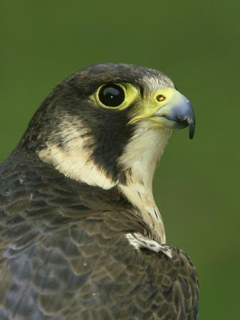 mark-hamblin-peregrine-falcon-falco-peregrinus-close-up-portrait-of-female-captive