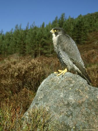 mark-hamblin-peregrine-falcon-falco-peregrinus-male-perched-on-rock-st-rathspey-uk