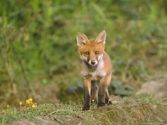 mark-hamblin-red-fox-cub-uk