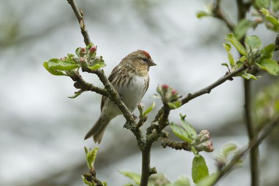 mark-hamblin-redpoll-carduelis-flammea-adult-male-perched-wales-uk-february