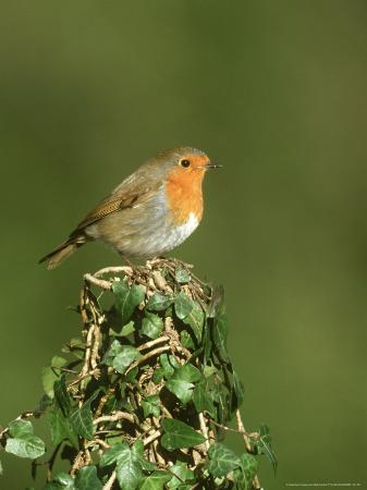 mark-hamblin-robin-adult-perched-on-ivy-covered-stump-uk
