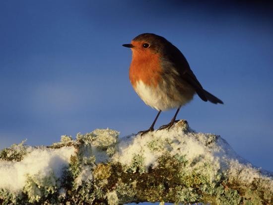 mark-hamblin-robin-perched-on-branch-in-snow-scotland-uk