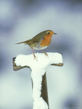 mark-hamblin-robin-perched-on-spade-handle-in-snow-uk