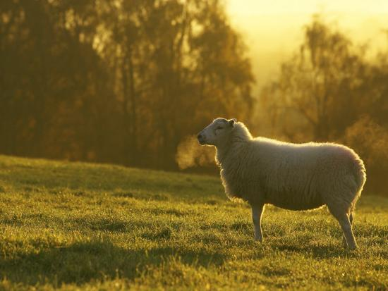 mark-hamblin-sheep-in-field-on-cold-morning-scotland