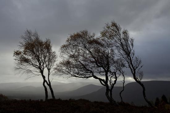 mark-hamblin-windswept-silver-birch-trees-betula-pendula-silhouetted-cairngorms-np-scotland-uk-november