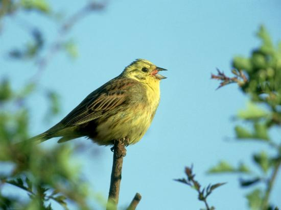 mark-hamblin-yellowhammer