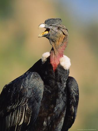 mark-jones-andean-condor-adult-male-colca-canyon-southern-peru