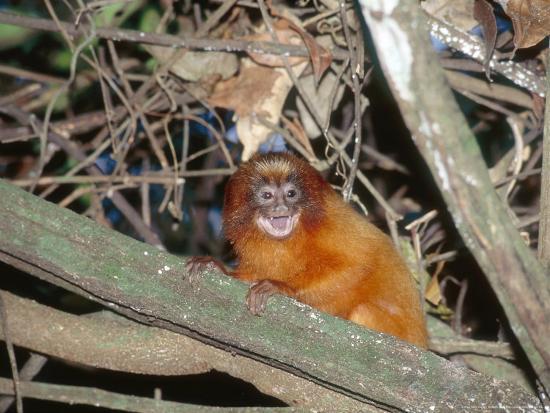 mark-jones-golden-lion-tamarin-free-living-infant-atlantic-rainforest-brazil