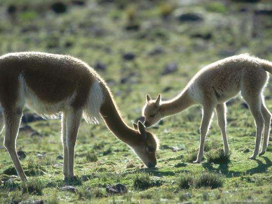 mark-jones-vicuna-mother-with-3-week-old-baby-peruvian-andes