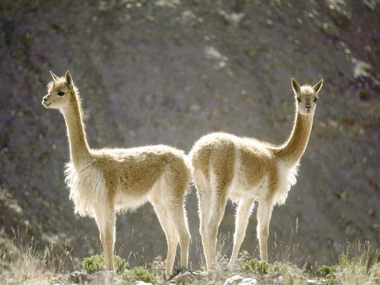 mark-jones-vicuna-wild-high-andes-cameloid-peru
