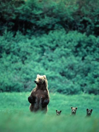 mark-newman-brown-bear-and-cubs-mikfik-creek-u-s-a