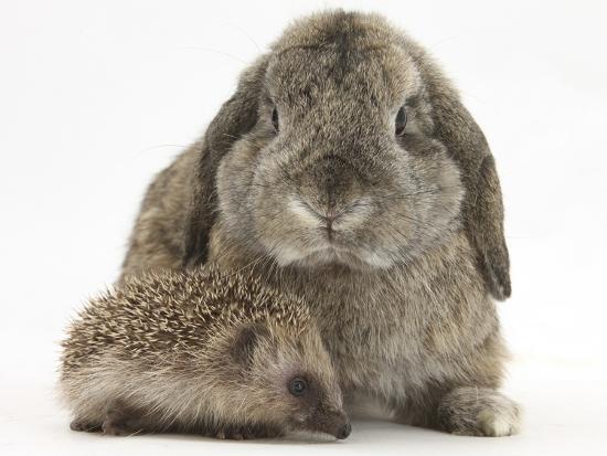 mark-taylor-baby-hedgehog-and-agouti-lop-rabbit