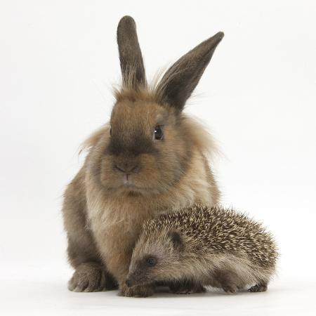 mark-taylor-baby-hedgehog-and-young-lionhead-cross-rabbit