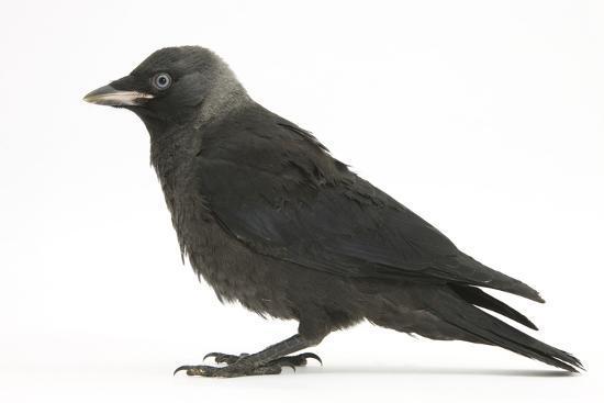 mark-taylor-baby-jackdaw-corvus-monedula-profile