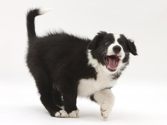 mark-taylor-black-and-white-border-collie-puppy-barking