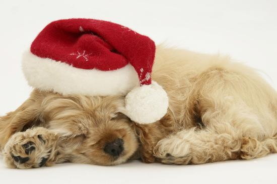 mark-taylor-buff-american-cocker-spaniel-puppy-china-10-weeks-old-asleep-with-father-christmas-hat-on